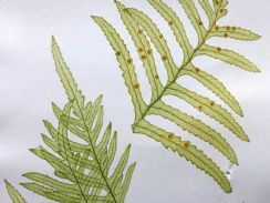 23rd April 2019. Moore & Bradbury Nature Printed Ferns